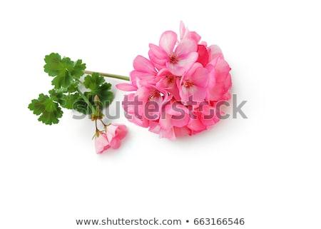 Pink Geranium flowers Stock photo © Yongkiet