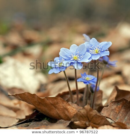 Hepatica beauty Stock photo © olandsfokus