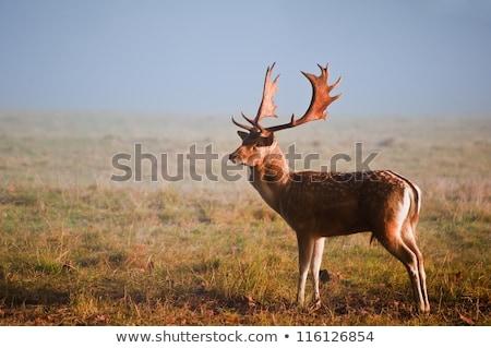 beautiful morning  landscape with fallow deer buck Stock photo © taviphoto