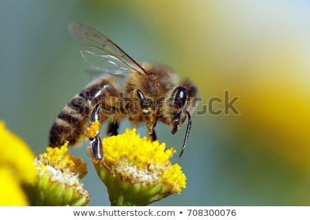 Honeybee Stock photo © derocz