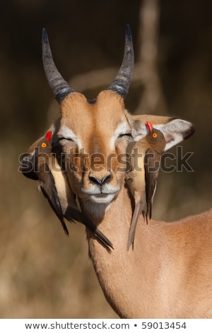 Deux réserve Botswana sud Afrique parc Photo stock © romitasromala