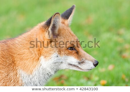 rouge · Fox · tête · vert · visage - photo stock © rekemp