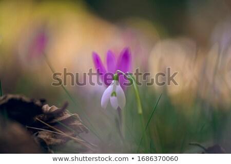 White snowdrops in the forest  Stock photo © Kotenko