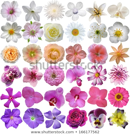 beautiful pansy flowers isolated on white background Stock photo © netkov1
