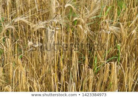 Ripe barley (lat. Hordeum) on a field  Stock photo © lightpoet