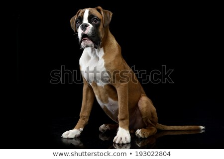 jung boxer sitting on the shiny floor in dark studio stock photo © vauvau