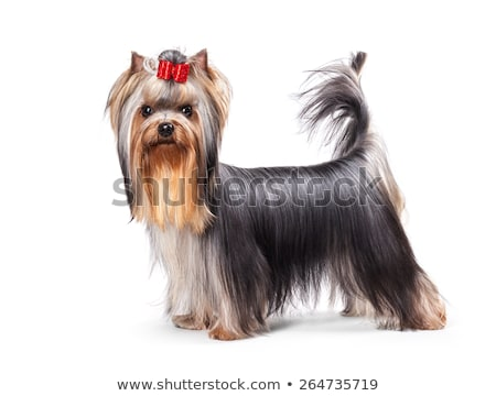 Yorkshire Terrier staying in the dtudio Stock photo © vauvau