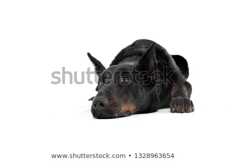 Stock photo: beauceron lying in a white background studio