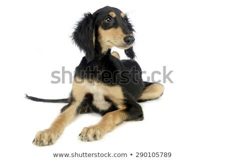 Kutyakölyök hallgat fehér stúdió szépség óra Stock fotó © vauvau