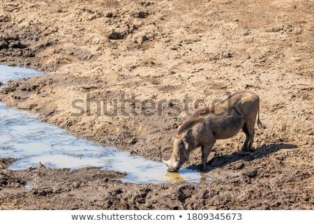 A warthog drinking from a dam. stock photo © simoneeman