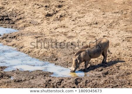 питьевой парка ЮАР животные свинья фотографии Сток-фото © simoneeman