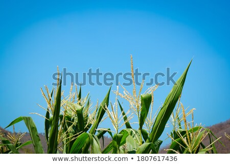 Yellowing stems Stock photo © Tawng