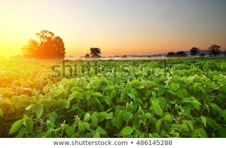 Soja plantação pôr do sol crescente cultivado Foto stock © stevanovicigor