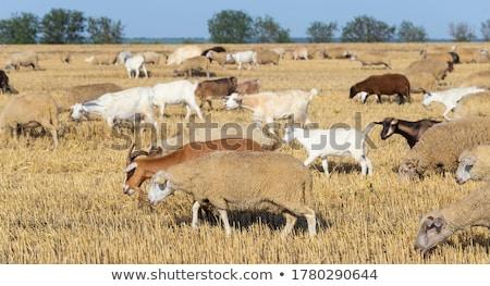 sheep herd grazing on wheat stubble field stock photo © stevanovicigor