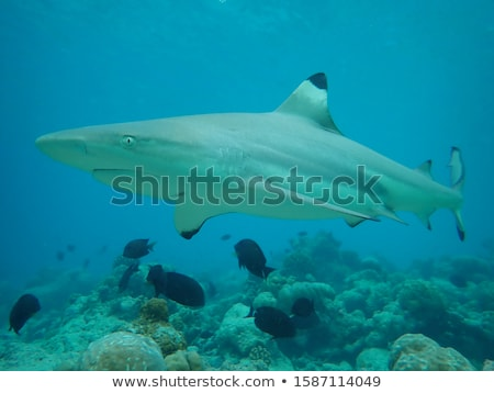 Azul tiburón dos peces amigos aquí Foto stock © theblueplanet
