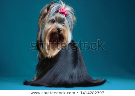 adorable yorkshire terrier with long coat sitting Stock photo © feedough