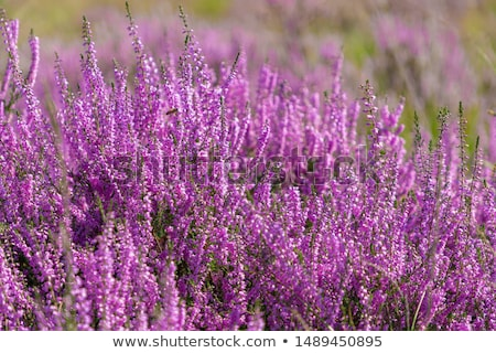 Heather Calluna vulgaris bush Stock photo © homydesign