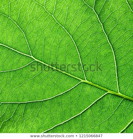 Groene natuurlijke blad patroon aderen macro Stockfoto © artjazz