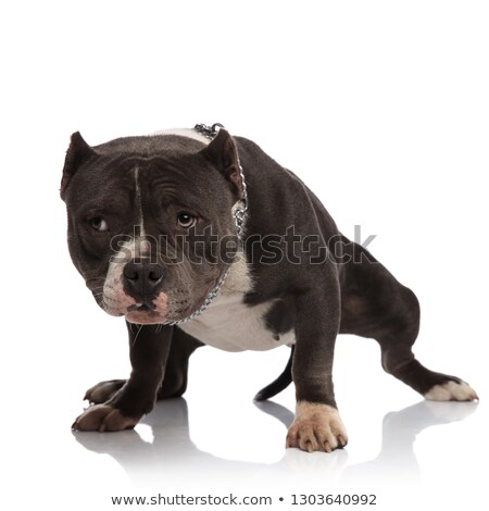 curious black and white american bully with collar stands Stock photo © feedough