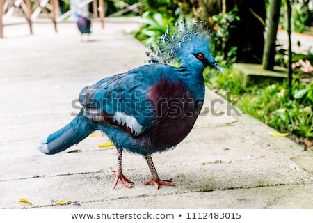 Dark pigeon on white background Stock photo © CatchyImages
