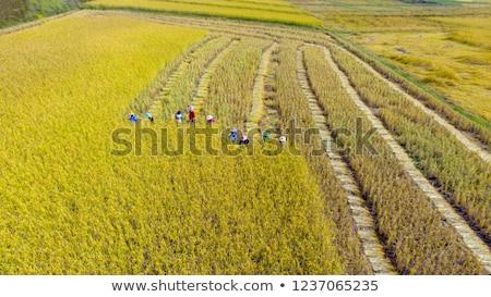 Trekker rijstveld werk groene industrie Stockfoto © galitskaya