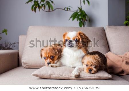 Studio shot of an adorable Pekingese dog Stock photo © vauvau