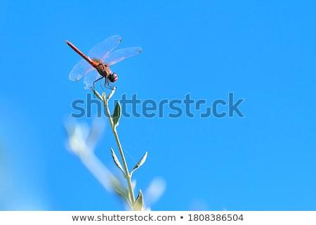 libélula · asas · grama · natureza · beleza · verde - foto stock © ansonstock