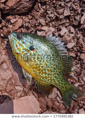 sunfish stock photo © foka