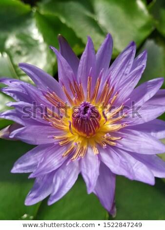 vijver · paars · water · lelie · bloem · bloeien - stockfoto © digitalr