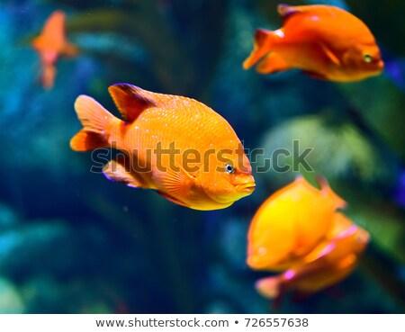 魚 · スイミング · 水 · 美 · オレンジ · 海 - ストックフォト © Laracca