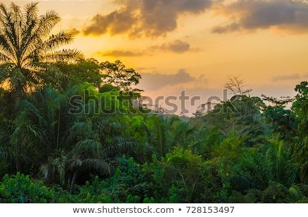 ヤシの木 · 長い · 緑 · オーストラリア人 · 熱帯雨林 · 薄い - ストックフォト © kikkerdirk
