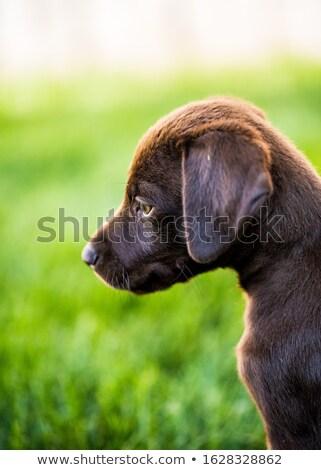 6 weeks old labrador Stock photo © feedough