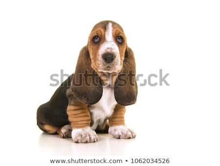 sabueso · ilustración · raza · perro · arte · cachorro - foto stock © tilo