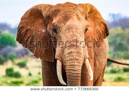 Foto stock: África · sabana · elefantes · puesta · de · sol · árbol · África
