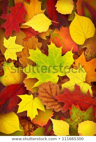 Vegyes juhar őszi levelek ősz textúra narancs Stock fotó © davidgn