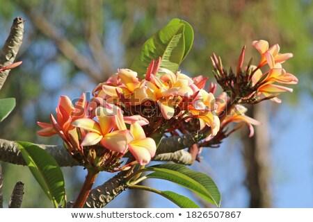 Plumeria Blooms in Tree Stock photo © pixelsnap