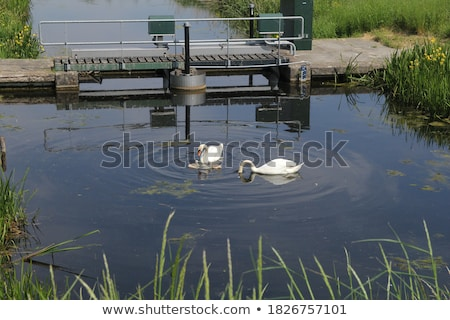 White swan in Dutch meadows Stock photo © ivonnewierink