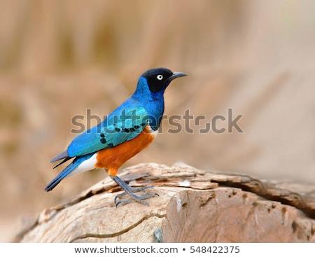 Fényes tollazat természet madár kék ág Stock fotó © sarahdoow