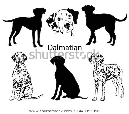 Dálmata cão jovem verde prado verão Foto stock © smuki