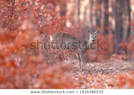 Stock photo: doe in alert in autumn