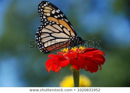 Iszik nektár részlet pillangó szárnyak Stock fotó © manfredxy