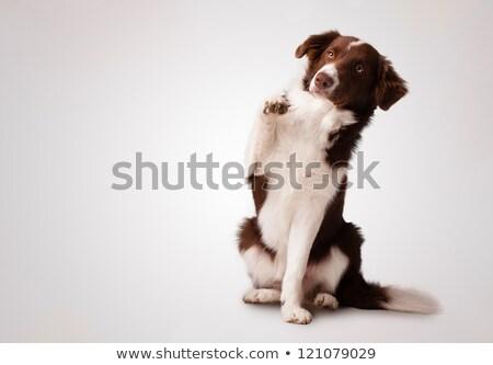 Junior brown border collie sitting and raising a paw Stock photo © ra2studio