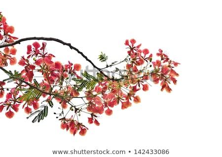 Flame tree blossom Stock photo © stoonn
