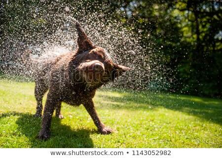 dog shaking off water stock photo © nelosa