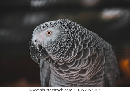 African Grey Parrot  Stock photo © mikdam