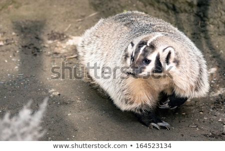 North American Short Legged Badger Wild Animal Mustelidae Family Stock photo © cboswell