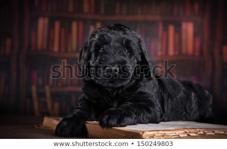 Black Russian Terrier & Schnauzer Stock photo © silense