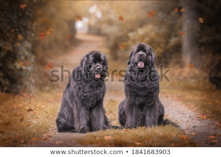 The portrait of Newfoundland brown dog  Stock photo © CaptureLight