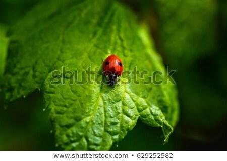 Katicabogár zöld levél piros mászik makró természet Stock fotó © Anterovium