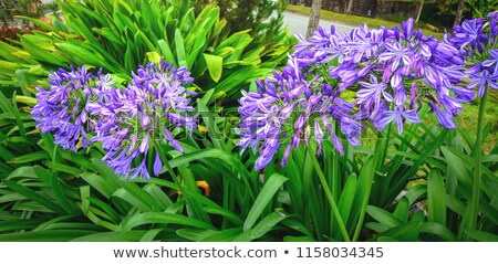 African lily (Agapanthus africanus) Stock photo © rbiedermann